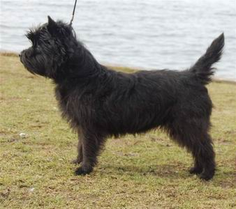 cairn terrier cairn lodge ally